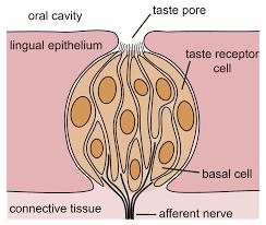<b>Taste</b> - Wikipedia