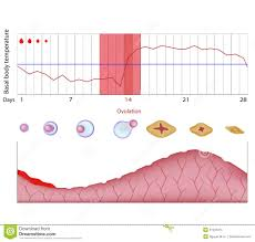 Body Temperature During Ovulation Chart Fertility Chart Stock Vector Illustration Of Basal Body
