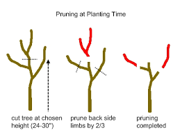 Tree Fruit Culture And Cultivars In North Dakota U2014 PublicationsCan You Prune Fruit Trees In The Summer