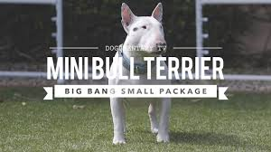 miniature bull terrier. Simple Miniature ALL ABOUT MINIATURE BULL TERRIERS CUTE AND POWERFUL On Miniature Bull Terrier R