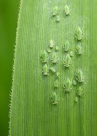 grass blade close up. Tiny Bugs On A Blade Of Grass Close Up