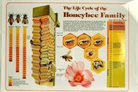 Bee Life Cycle Chart Bedowntowndaytona Com