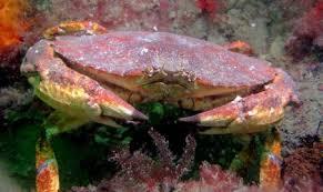 Crab Species Chart Crab Identification And Soft Shell Crab Washington