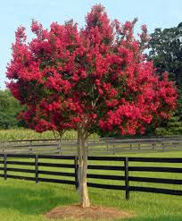 Image result for crepe myrtle landscaping ideas