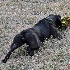 black bulldog rear