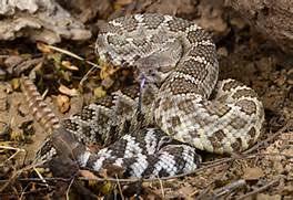 rattlesnake head striking. Modren Rattlesnake Diamondback Rattlesnake Head Striking Southern Pacific Rattlesnake For T