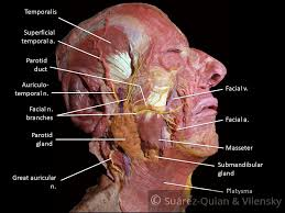 The Facial Nerve Cn Vii Course Functions Teachmeanatomy