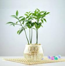 cheap office plants. Bamboo Plant For Desk Office Popular Green Plants Cheap Lots Modernday Snapshoot