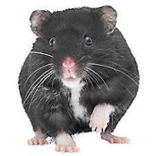 petsmart animals for sale. Simple Petsmart Russian Dwarf Hamster To Petsmart Animals For Sale