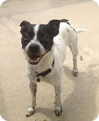 black and white jack russell terrier mix. Contemporary Jack Adopted For Black And White Jack Russell Terrier Mix D