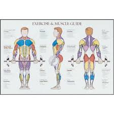 Amazon Com Power Systems Exercise And Muscle Chart