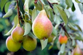 Fruit Tree Pollination Chart Pear Trees That Do Not Need Cross Pollinators Home Guides