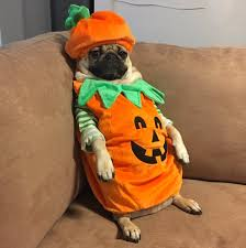 pug in pumpkin costume. Simple Costume Doug The Pug On Twitter  Throughout In Pumpkin Costume
