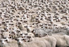 Image result for wolf in sheep's clothing photos