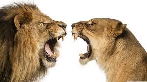 Lion Lioness Ultra HD Desktop ...