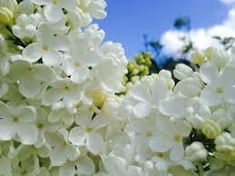 Картинки по запросу ceriņi zied