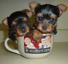 two yorkshire terrier puppies in tea cup
