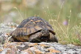do pet tortoises and turtles show
