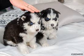 really cute baby husky puppies with blue eyes. Brilliant Blue Hands Caressing The Husky Puppies Cute Baby Dog With Blue Eyes Pet  Manu0027s Throughout Really Baby Puppies With Blue Eyes I
