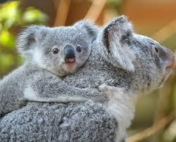 <b>Koala</b> Cam | San Diego Zoo