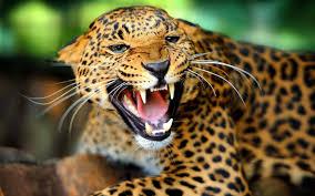 desktop cheetah wallpapers