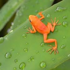 Image result for golden mantella frog