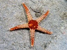 Starfish Chart Starfish Wikipedia