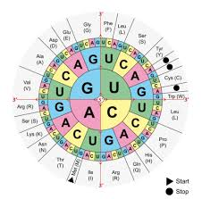 Translation Read Biology Ck 12 Foundation