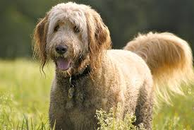 Goldendoodle Weight Chart Goldendoodle Dog Breed Information Pictures