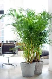 Areca palm, easy care enormous sphere!