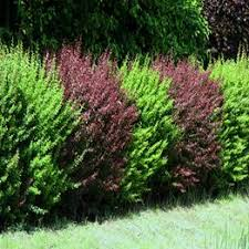 garden bushes. Strikingly Design Garden Bushes Transform Your With Expertly Grown Top Quality Affordable A