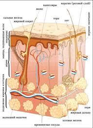 Модульный урок по биологии на тему Кожа  Используя материал лекции и рисунок вкратце опишите строение кожи