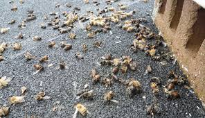 Image result for dead  bees