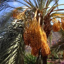 Free Images  Nature Fruit Palm Tree Flower Summer Food Palm Tree Orange Fruit