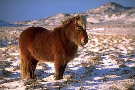 icelandic horse wikimedia org