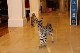 best savannah cat breeder f1 savannah kittens