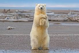 grolar bear size how tall is a polar bear standing up polarbearfacts net