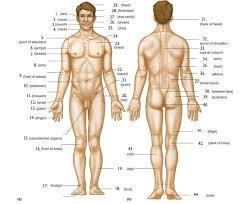 Body Regions Anterior And Posterior Part 1 Diagram Quizlet