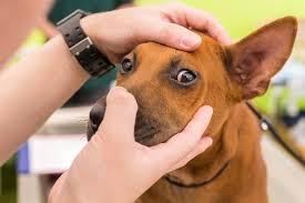 dog eye problems oakland veterinary