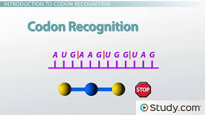 Making Sense Of The Genetic Code Codon Recognition