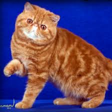 exotic shorthair orange and white. Fine Exotic Shipping We Ship Within Our Country Notes Grand Champion Lines Pet Cats Kittens Sold With Altering Agreement Veterinary Health Certificate  Provided At  With Exotic Shorthair Orange And White Fanciers Breeder Referral List