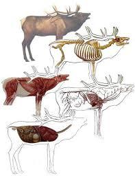 Elk Anatomy Moose Hunting Elk Hunting Tips Hunting