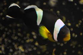 black and yellow clown fish. Interesting Black Intended Black And Yellow Clown Fish O