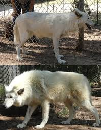 many high contents will phase out and change color with each shed re growing of their winter coats below images are of the same wolfdog showing its summer