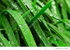 grass blade close up. Grass Blades: Big Water Drops On Green Blades, Closeup Blade Close Up