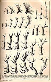 Deer Antler Age Chart Antler Wikipedia