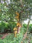 Images & Illustrations of jackfruit