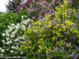 Lilacs In Landscape Design Superstar Lilac Foliage Has Stage Presence In Design Fine