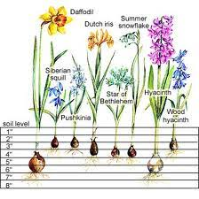 Mrs Petals Flower Bulb Care And Tips