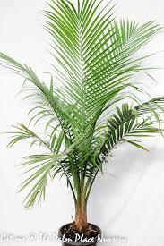Majestic Palm 30cm